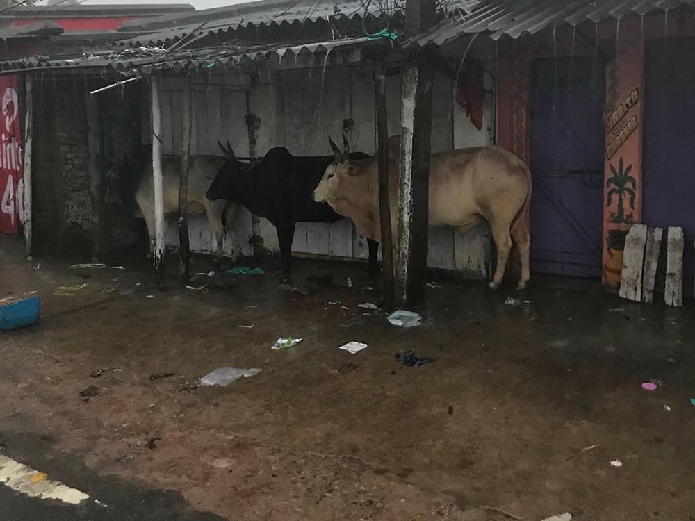 牛も雨の日は揃って雨宿り