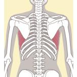 脇の下にある筋肉で、腕を伸ばしたり、押したりする動作で働きます。前鋸筋が弱い、あるいはうまく使えていないとアームバランスで床を押すことができずポーズが崩れてしまいます。