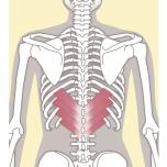 みぞおちの後ろ側、背骨の左右にある筋肉で、両方働くとみぞおちを持ち上げ、片方だけ働くとねじりに働きます。使えるようにしておくと後屈ポーズでの腰のケガ予防になります。