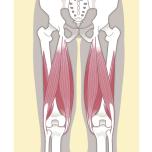 太腿裏の筋肉で、鼠蹊部を伸ばします。体を一直線に伸ばすポーズではハムストリングの強さが不可欠。お尻の筋肉(大臀筋)と混同して使っていると、ポーズの上達をさまたげている可能性も。