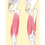 左:大腿四頭筋(前面)/右:ハムストリング(背面)