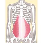 腹斜筋をヨガで鍛える方法|腹筋の基礎はねじって育てる!側屈が上達するヨガトレーニング