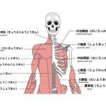 筋肉 図 正面
