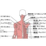 筋肉 図 背面