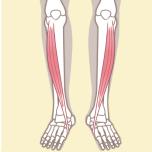 前脛骨筋 筋力不足を防ごう|下半身6筋群の筋力をチェックする方法【理学療法士監修】