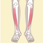 立ち姿勢の重心が適切に|理学療法士に聞く「前脛骨筋」の鍛え方