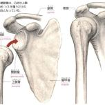 骨頭と関節窩
