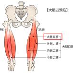 大腿四頭筋、大腿直筋