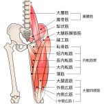 股関節周囲の筋肉