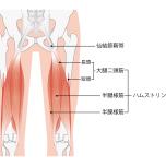 腿裏の筋肉