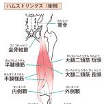 太もも裏側の筋肉