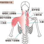 肩甲骨周りの筋肉