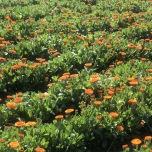カレンデュラ畑