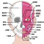 眼輪筋・皺眉筋(顔の筋肉)